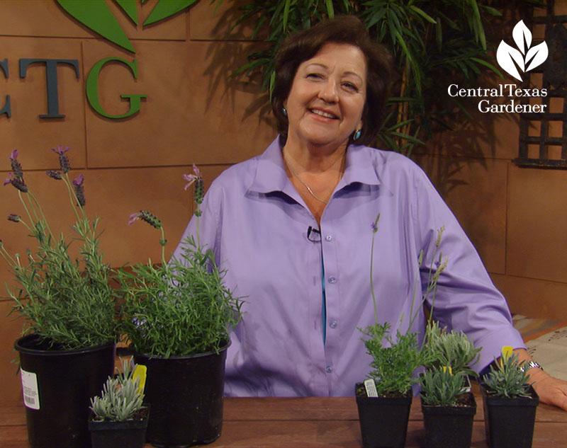 how to grow lavender Trisha Shirey Central Texas Gardener