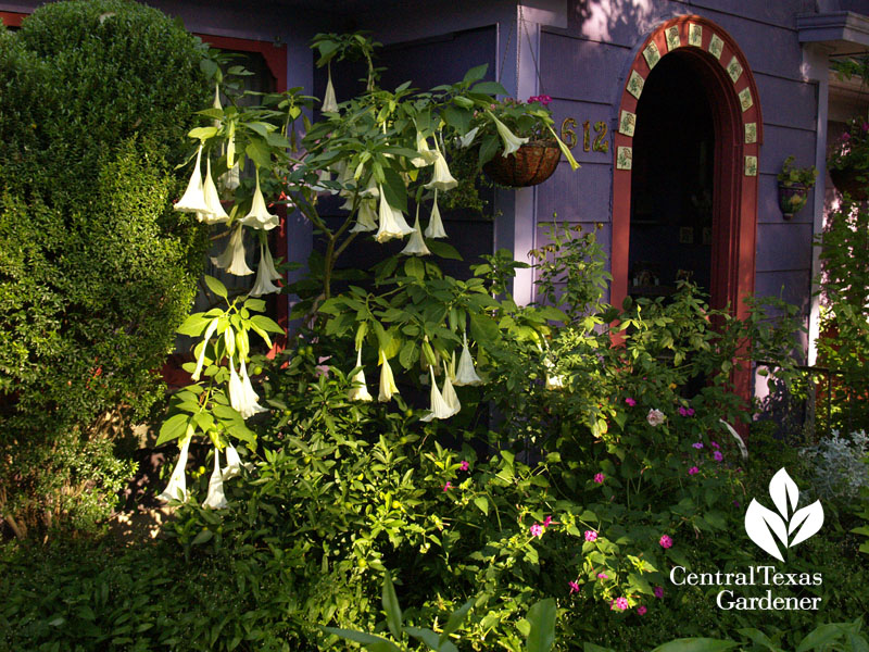 Lucinda Hutson's brugmansias and purple cottage