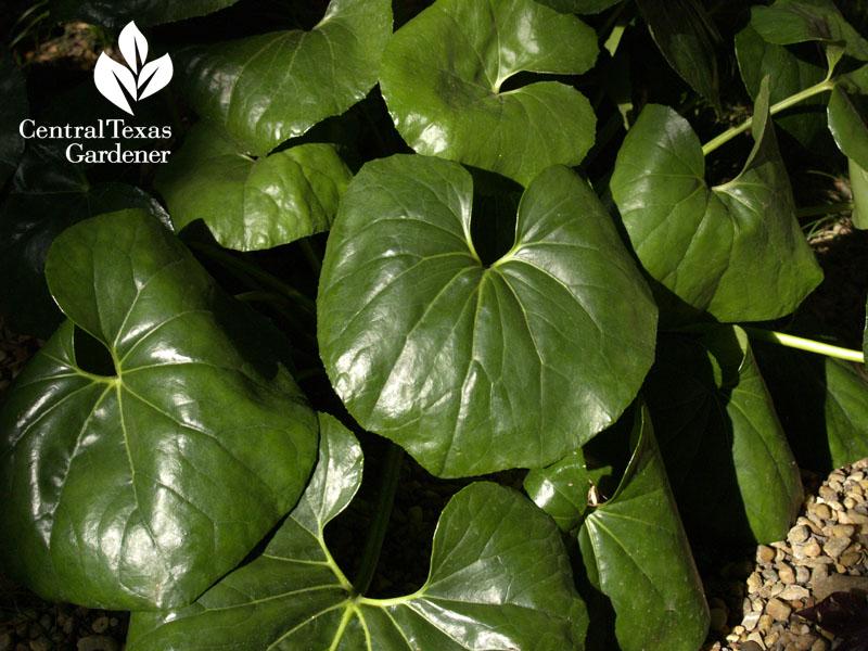 ligularia shade plant