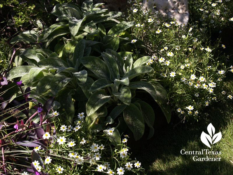 blackfoot daisy lamb's ears oxalis Lynne Dobson garden