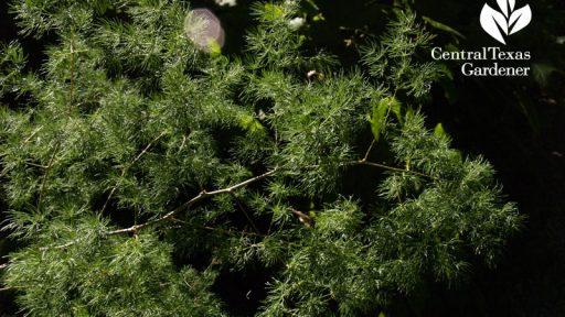 Ming fern shade plant Lynne Dobson Central Texas Gardener