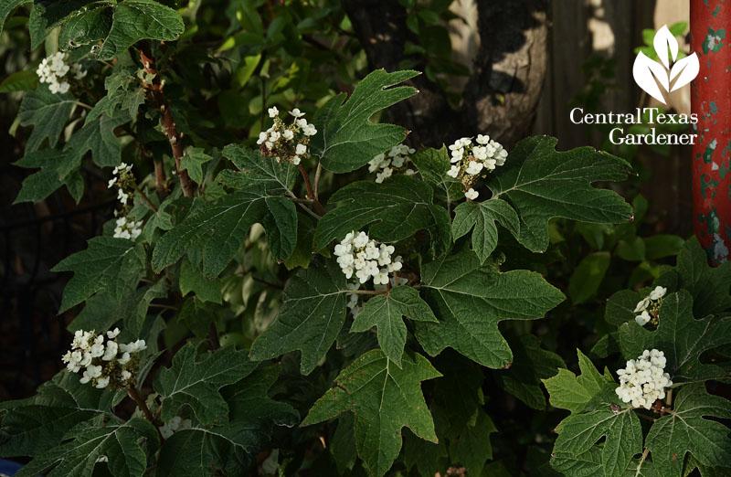 oakleaf hydrangea shade perennial texas