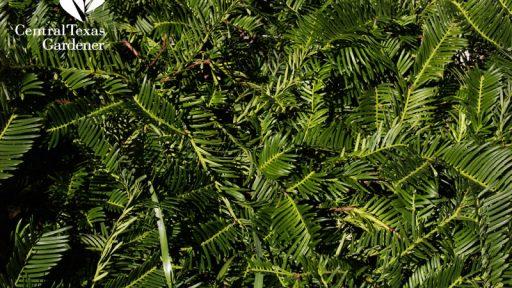 plum yew shade plant Cephalotaxus harringtonia 'Duke Gardens'
