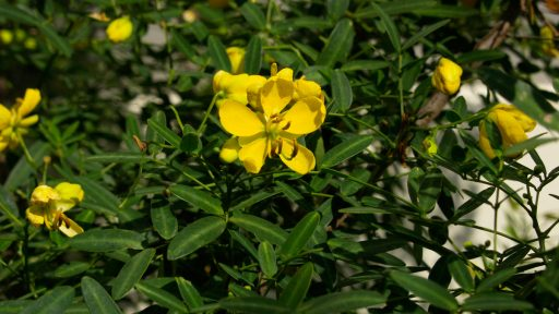 Daphne Plant of the Week Senna
