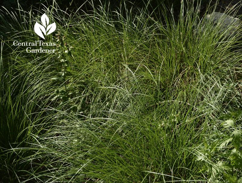 sedge Carex texensis central texas gardener