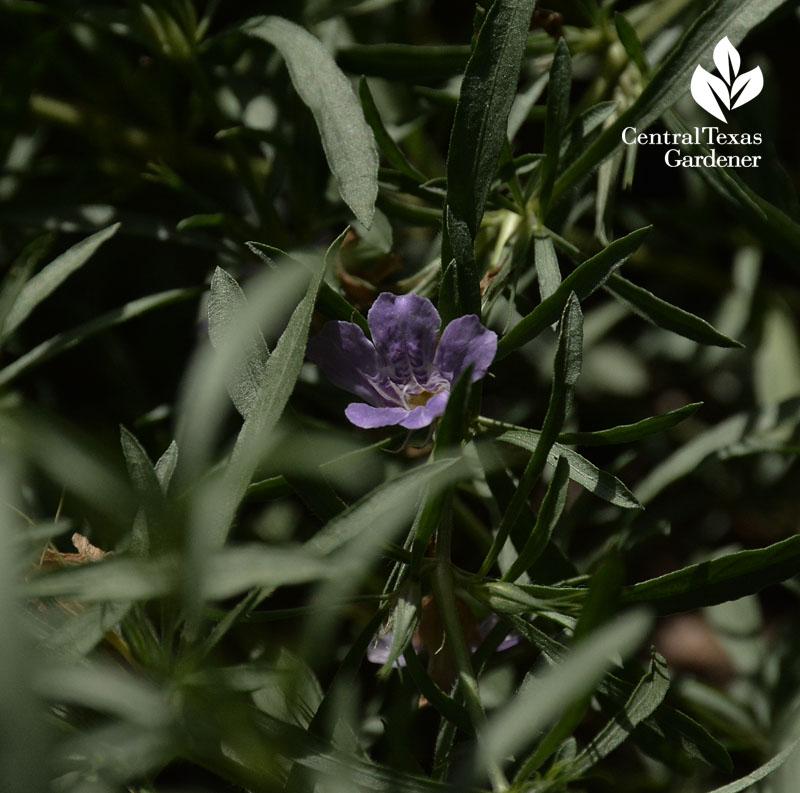 snake herb flower (Dyschoriste linearis) central texas gardener