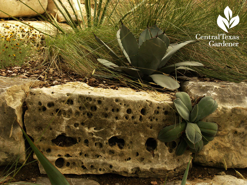 ten eyck garden agaves in rock