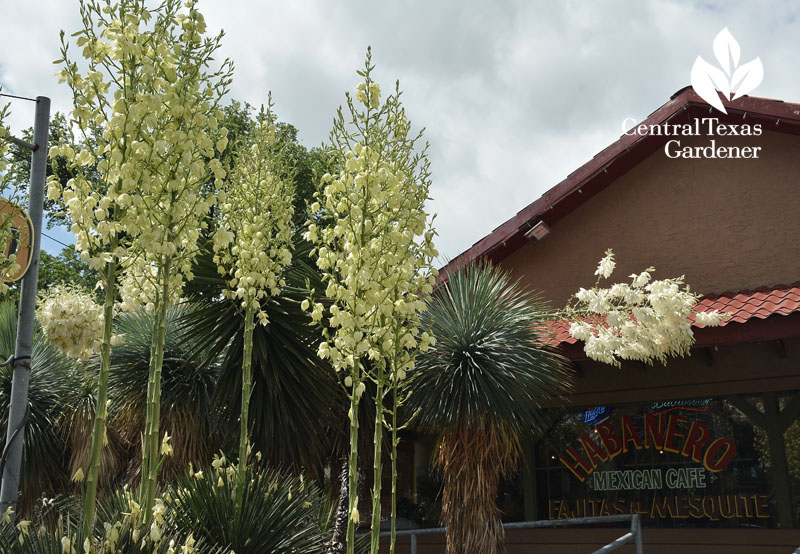 yucca rostrata blooms at Habanero Mexican Cafe Austin