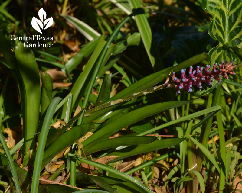 Matchstick bromeliad Aechmea gamosepala flower