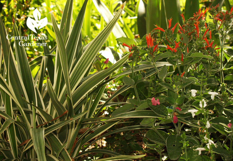dicliptera suberecta, dianella, salvia coccinea garden design drought