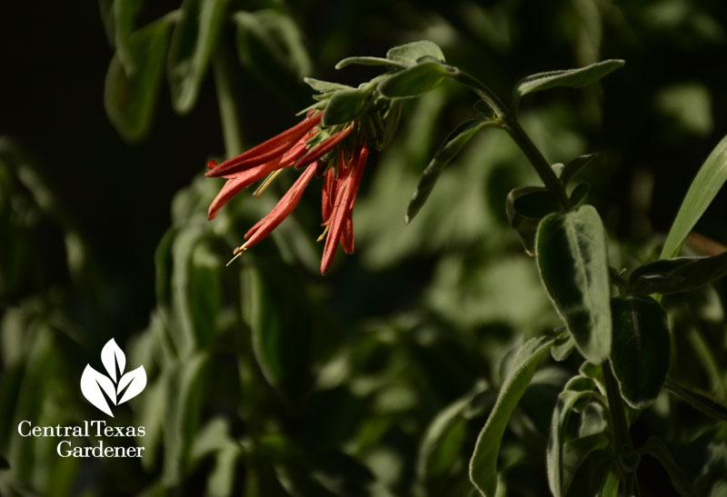 dicliptera suberecta hummingbird fave central texas gardener