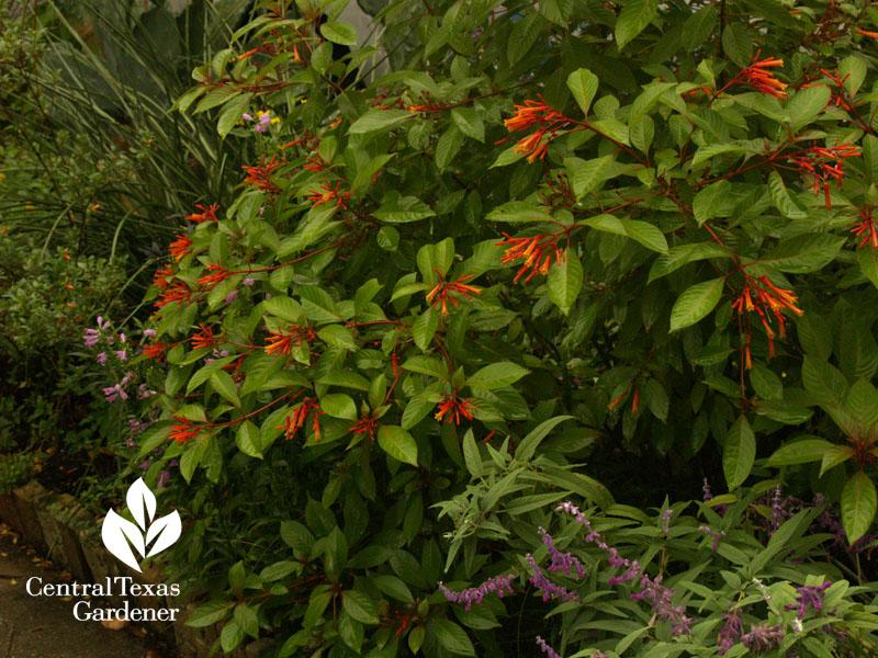 hamelia patens salvia leucantha in Lucinda Hutson's garden