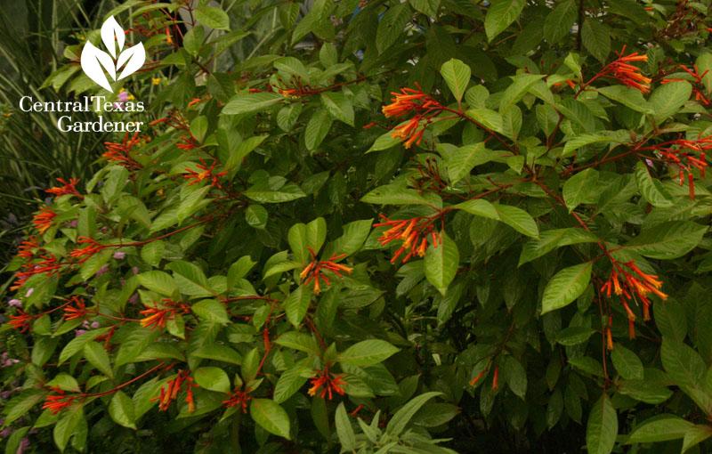 Hamelia patens hummingbird bush