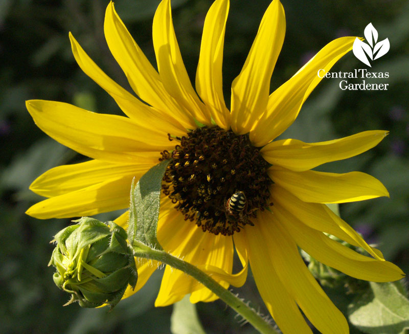 sunflower bee phototropism heliotropism
