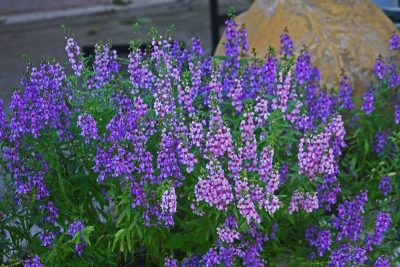 Angelonia (Photo by: Texas AgriLife Research)