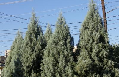 arizona cypress hedge