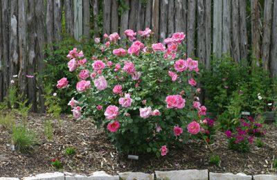 carefree beauty rose
