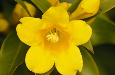 Carolina Jessamine Central Texas Gardener