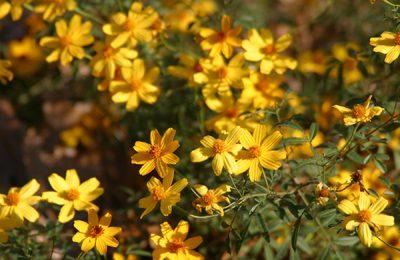 Copper Canyon daisy