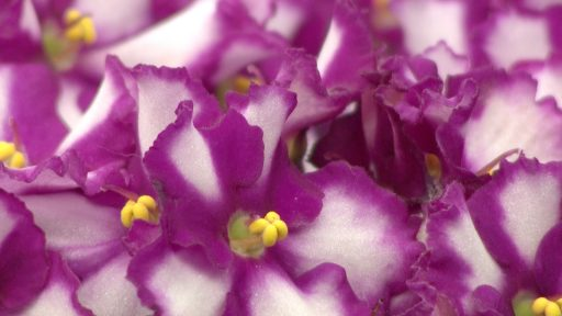 African Violet Photo by: Penny Smith-Kerker