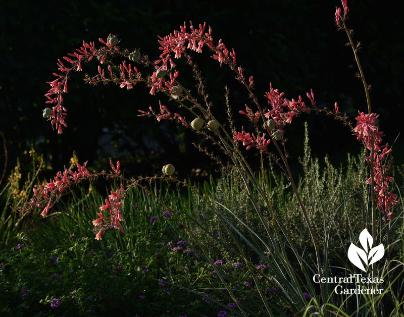 red yucca hesperaloe parviflora hummingbird plant