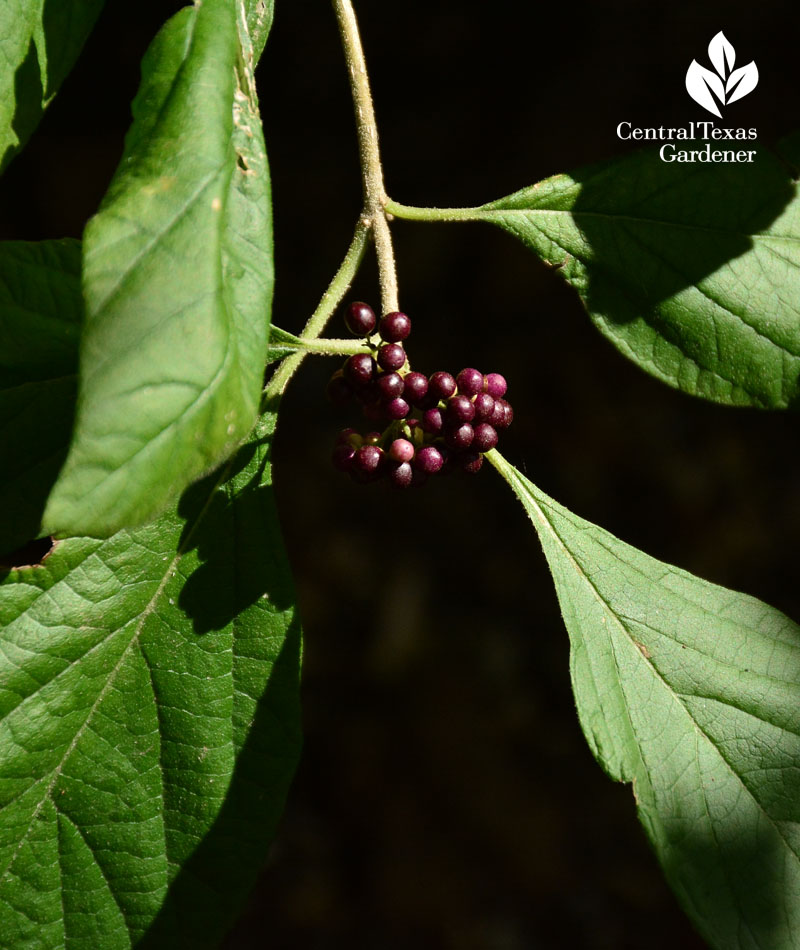 Mexican beautyberry Callicarpa acuminata Austin Texas
