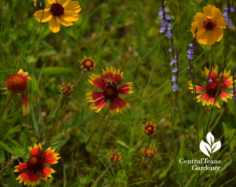 bee indian blanket wildflower central texas gardener