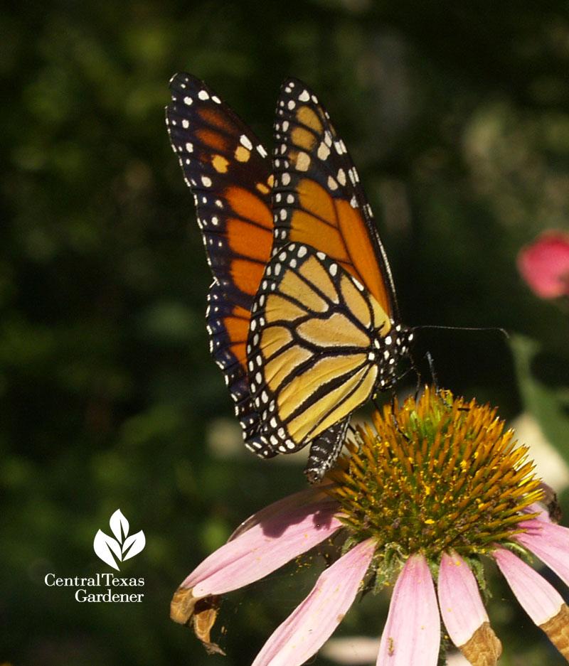 Monarch butterfly on coneflower central texas gardener