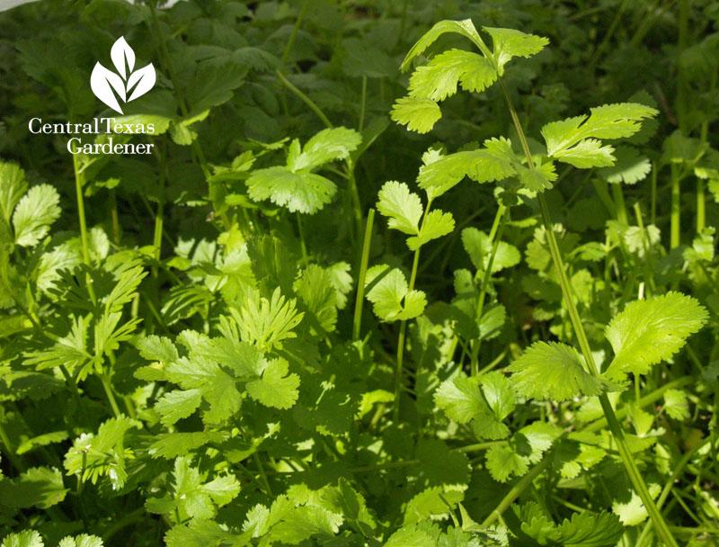 how to grow cilantro central texas gardener