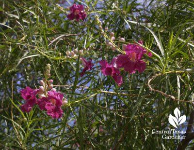 Bubba desert willow hummingbird small drought tough tree central texas gardener