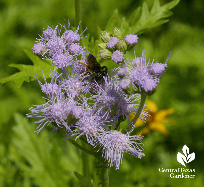 Bee on Gregg's mistflower Austin wildlife garden