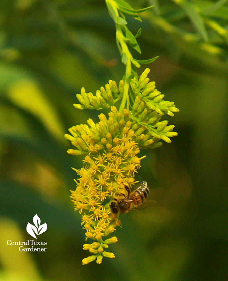 bee on perennial goldenrod central texas gardener