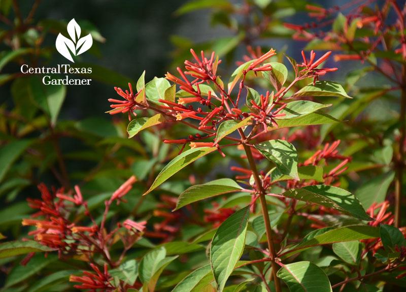 Firebush Hamelia patens hummingbird plant austin texas