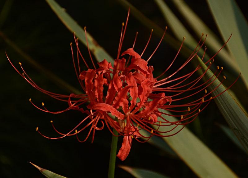 Fall perennial spider lily Lycoris radiata Austin Garden