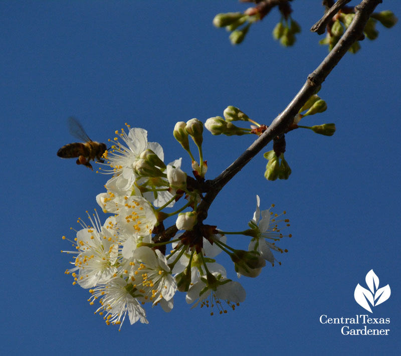 bee on mexican plum native tree central texas gardener
