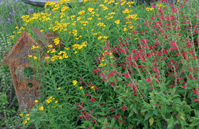 mexican mint marigold and pineapple sage