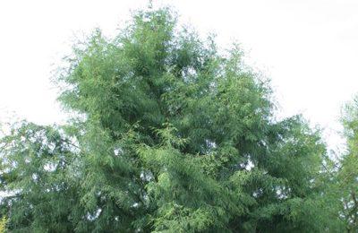 Montezuma Cypress