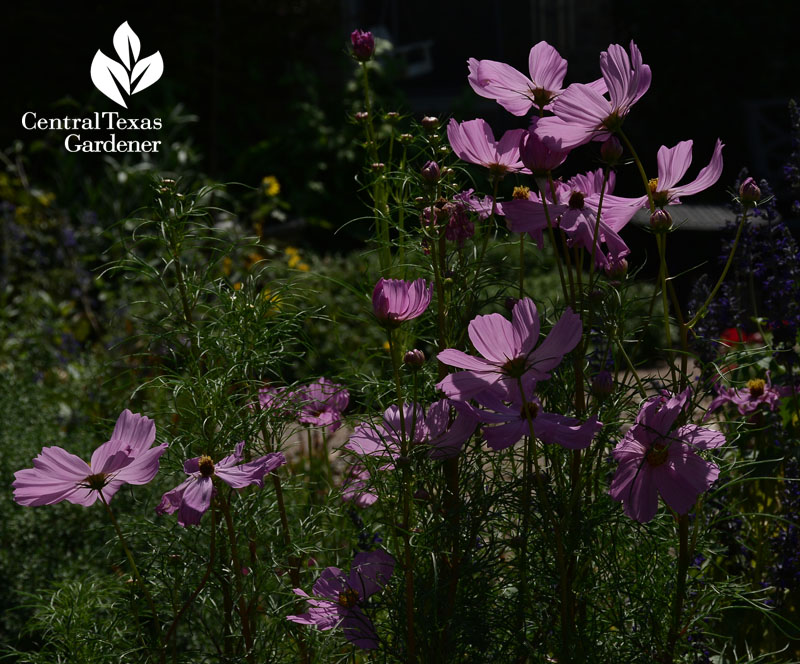 pink cosmos butterfly and bee summer annual central texas gardener