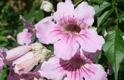 Pink trumpet vine central texas gardener pink trumpet vine mightylinksfo