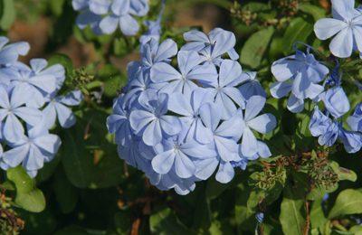 plumbago blooms