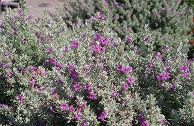 heavenly cloud texas sage