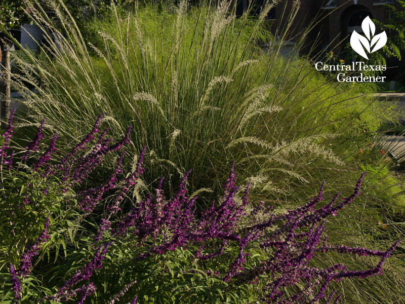 lindheimer muhly and salvia leucantha drought combo for wildlife central texas gardener