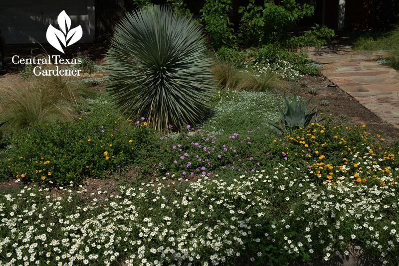 no-lawn wildlife garden yucca rostrada blackfoot daisy silver ponyfoot