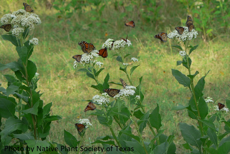 Frostweed and Queen butterflies Native Plant Society of Texas