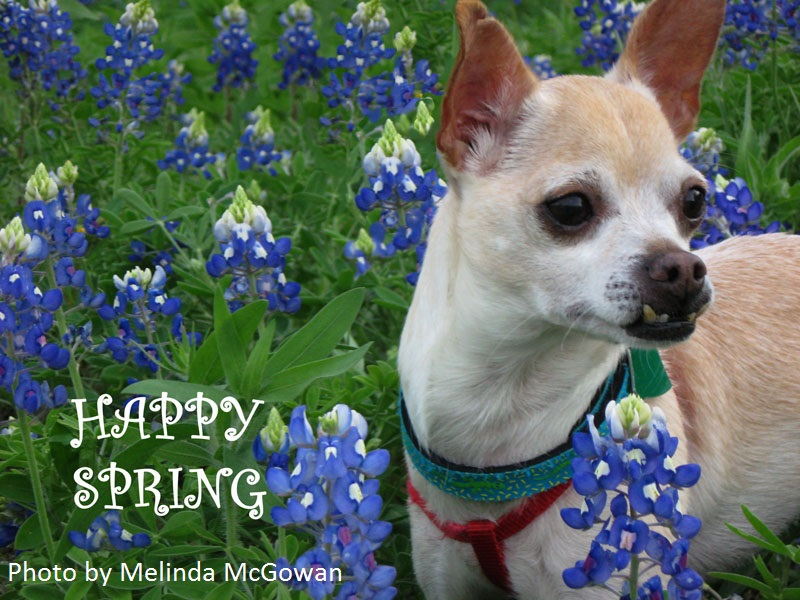 dog selfie bluebonnets central texas gardener
