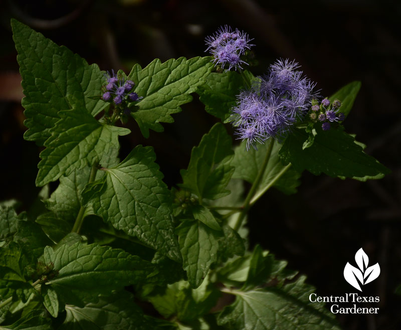 conoclinium coelestinum blue mistflower central texas gardener