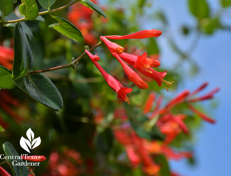 native evergreen coral honeysuckle vine for hummingbirds