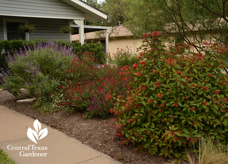 losing lawn for native hamelia patens and salvias small yard Central Texas Gardener