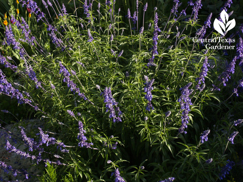 native salvia farinacea in Jenny Stocker's garden central texas gardener