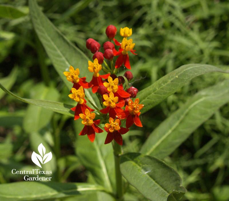milkweed asclepias curassavica Monarch butterflies central texas gardener
